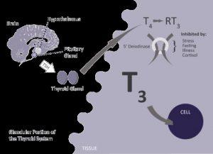 thyroide-3-3